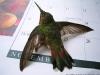 hummingbird_rescue