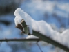 snowytwig